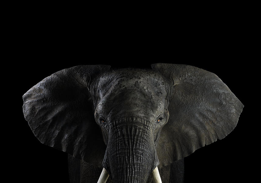 African Elephant #1, Los Angeles, CA, 2010