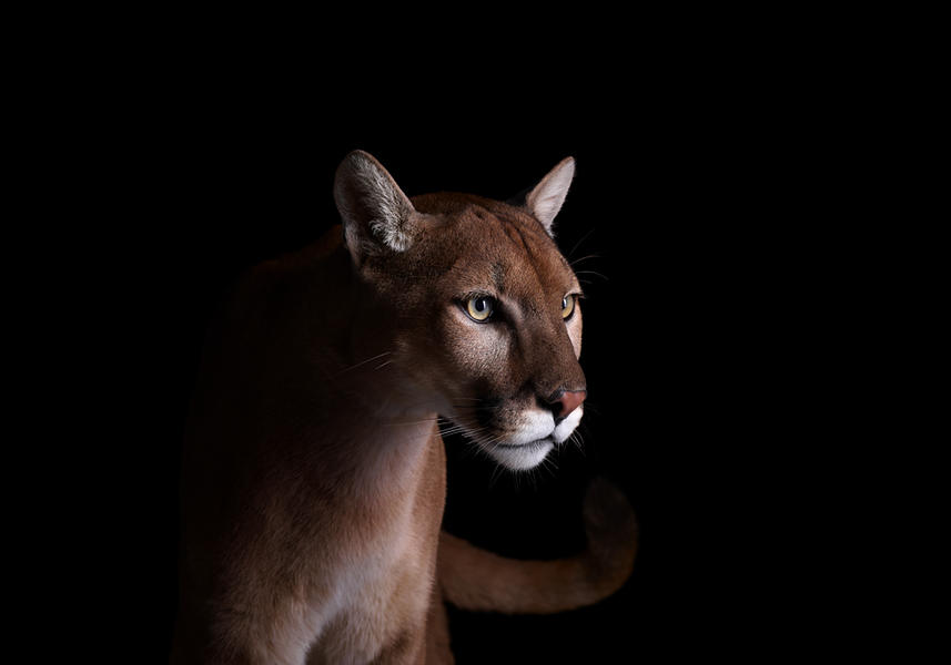 Mountain Lion #4, Los Angeles, CA, 2011