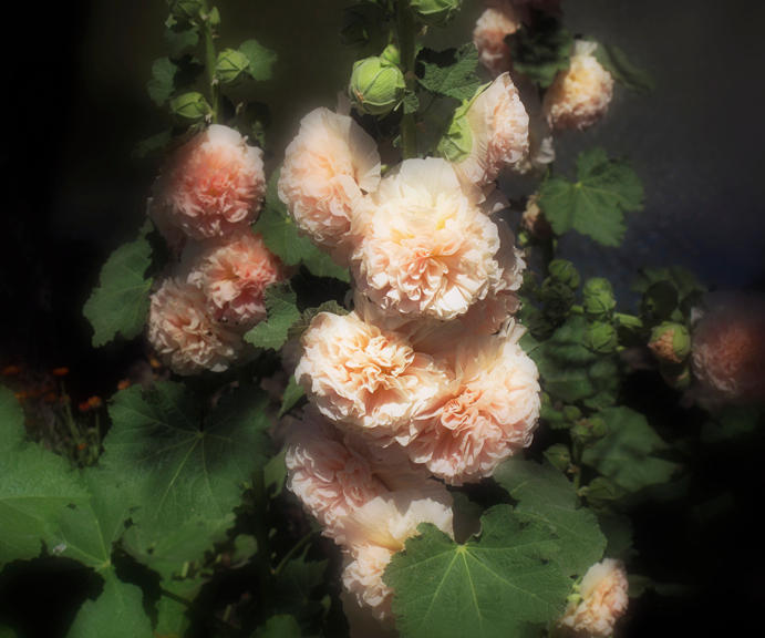 Carnations, A Mother's Tears,40x50' c-print, 2011