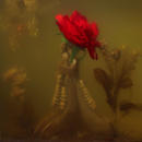 Jaws Rose