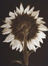 untitled(Sunflower), 1990, copperplate gravure
