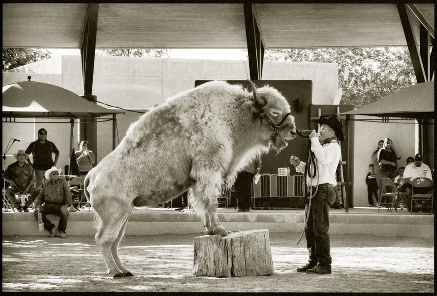White Buffalo, New Mexico State Fair, 2011