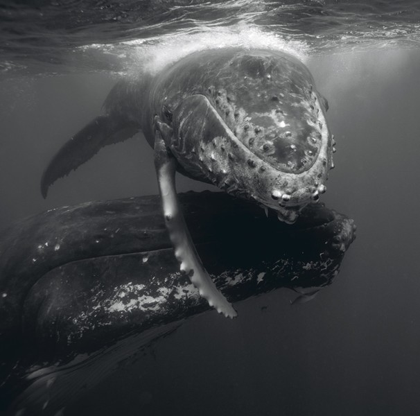 Humpback Whale Mother and Calf III, 2006