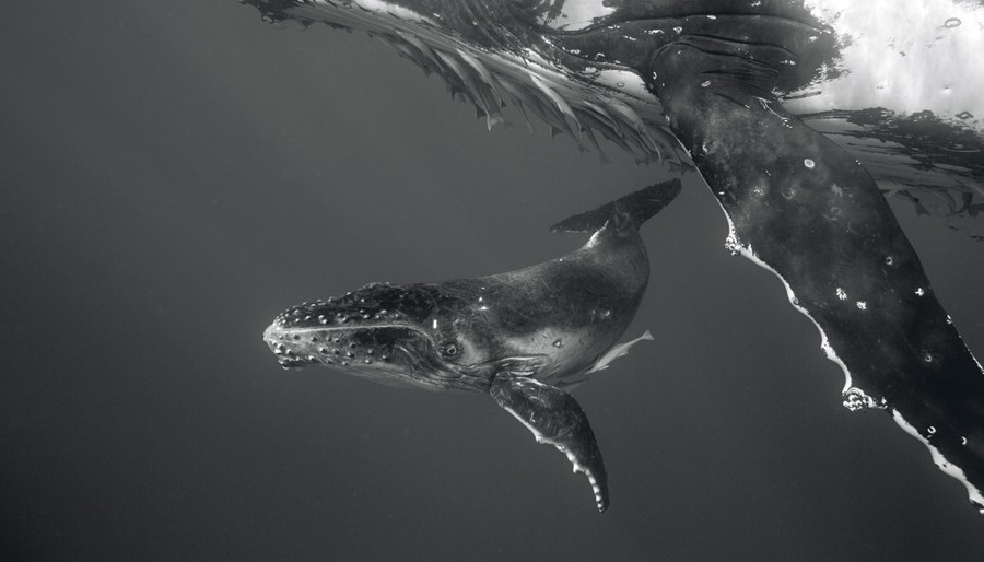 Humpback Whale Mother and Calf II, 2005