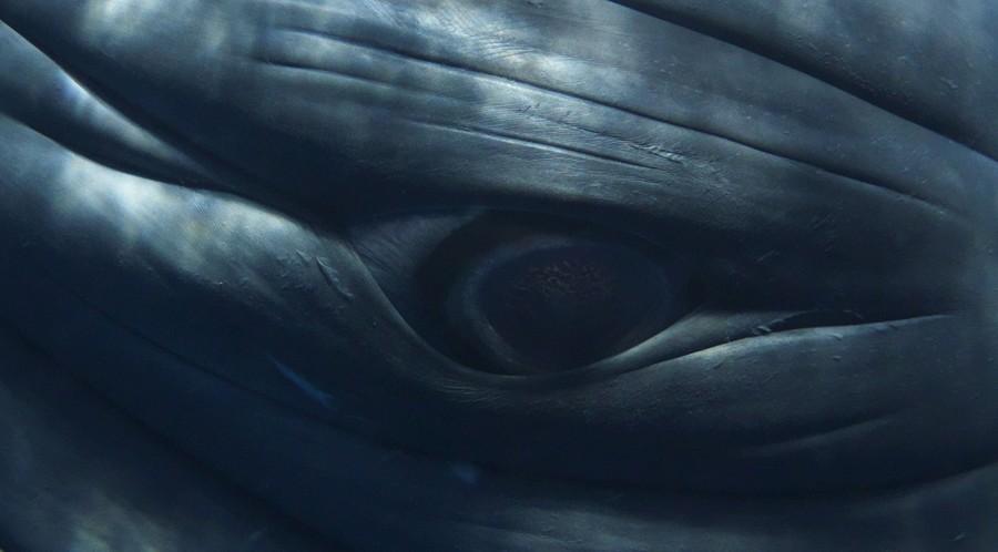Minke Whale Composite Portrait 1186 (Detail), 2009