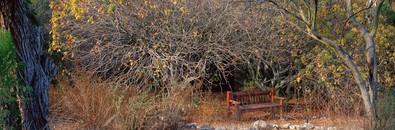 Nearly Leafless Buckeye Tree
