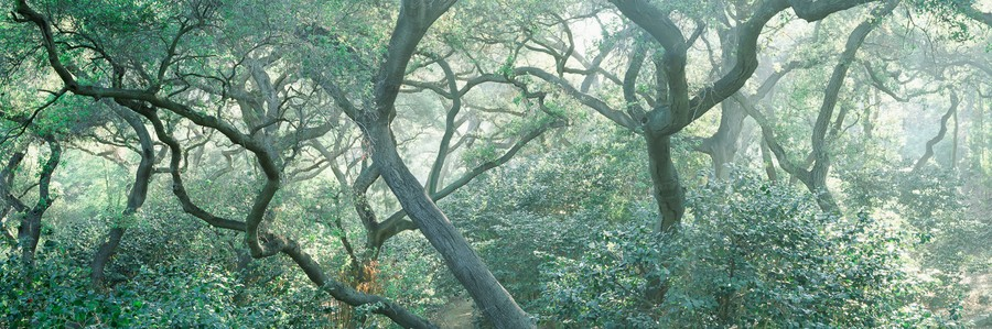 Oak Branches & Fog