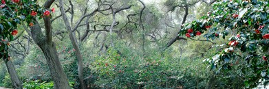 Oak Trees With Red Camellias