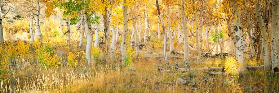 Aspens, Parker Creek