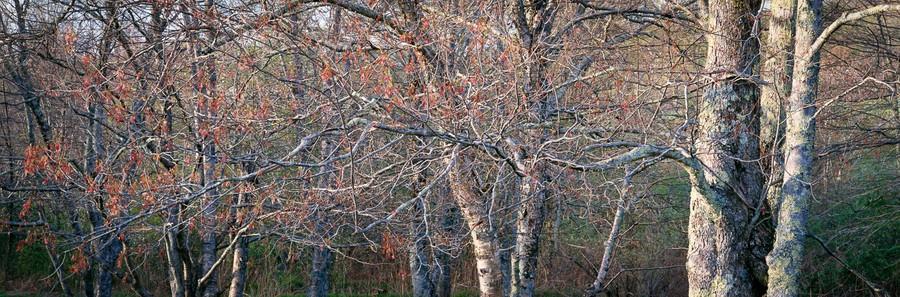 Blue Ridge Maples