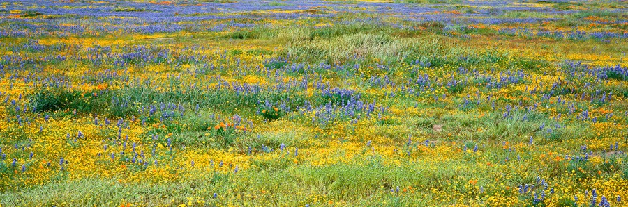 Carrizo Wildflowers