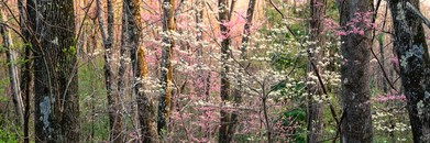 Dogwoods & Redbuds