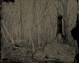 Deer in Birches