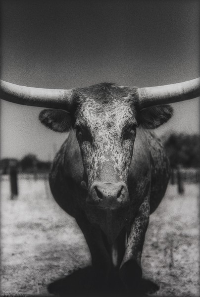 Steer #1, Art, Texas