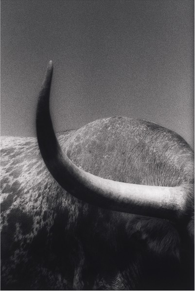 Steer #7, Art, Texas