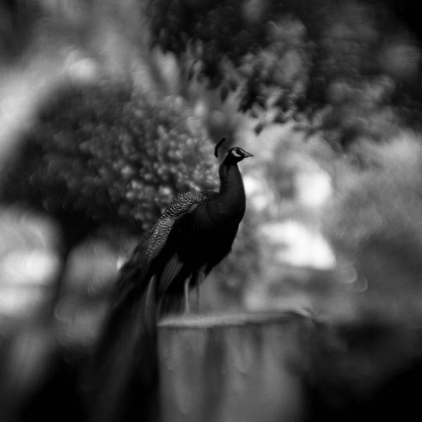 Peacock Study #2