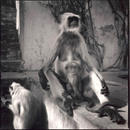 Monkeys, Amber Fort, Jaipur, India