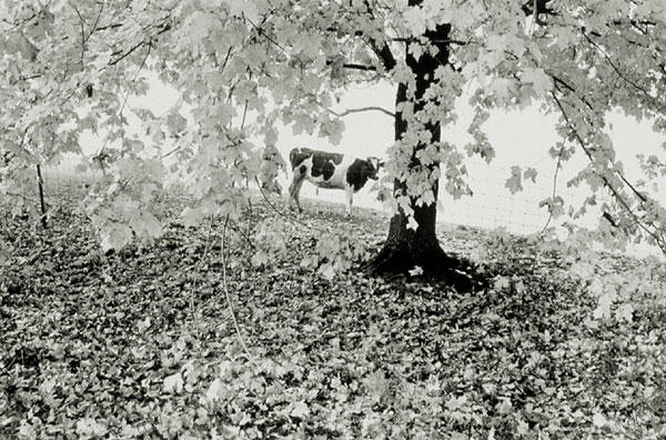 Autumn Trees and Cow, Hadley  MA