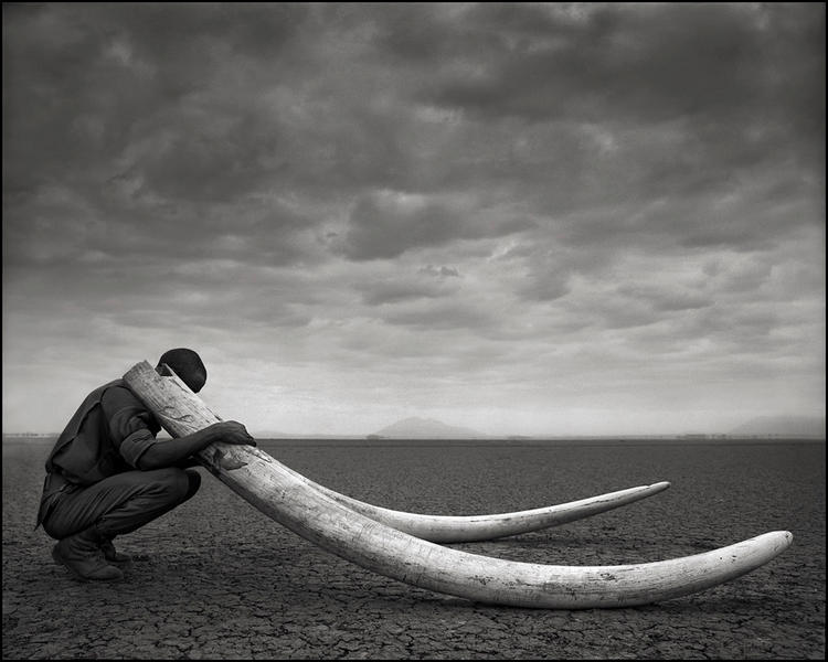 Ranger with Tusks of Elephant Killed by Man, 2011
