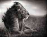 Lion Before Storm- Sitting Profille, Mas Mara 2006