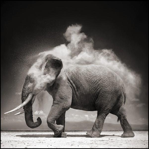 Elephant with Exploding Dust, Amboseli, 2007