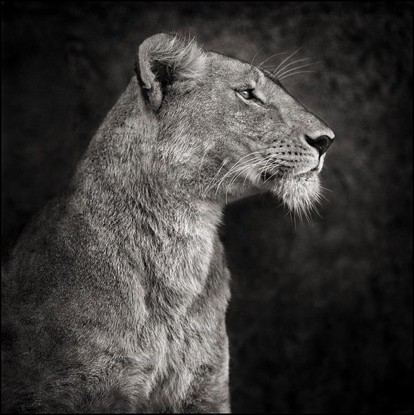 Lioness Against Rock, Serengeti 2007