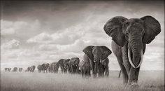 Elephants Walkiing Through Grass, Amboseli, 2008