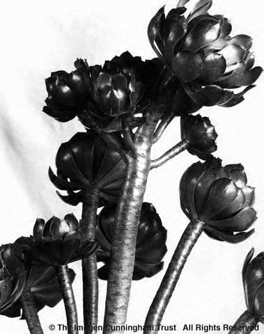 Aeonium, 1920s