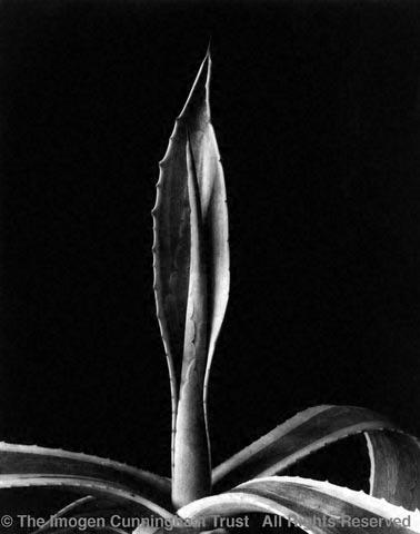 Agave, 1920s