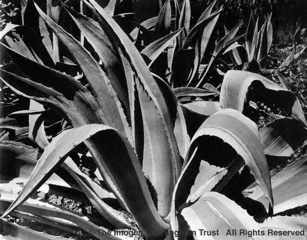 Agave, Caskie's garden 2, 20s