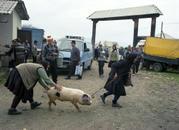 Pig, Ocna Market, Maramures