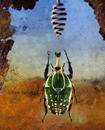 Chelorrhina polyphemus confluens