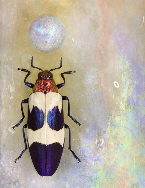 Chrysochroa bugueti rugicollio