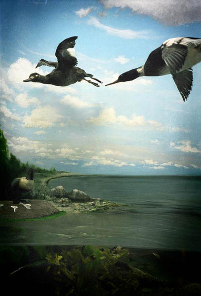 Flying Ducks, Estonia