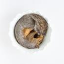 Wunderkammer:  Squirrel in Bowl, 2012
