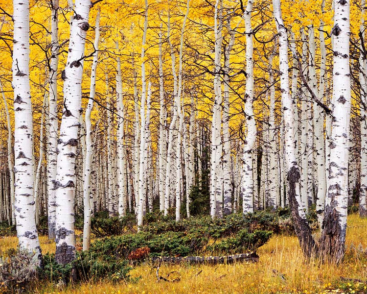 Aspens after Morning Rain