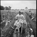 Tobacco Harvesters, North Carolina