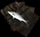 Striped Bass (Compound image 5 stitched images)