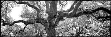 Oak Tree, SC (Panorama Single Image)