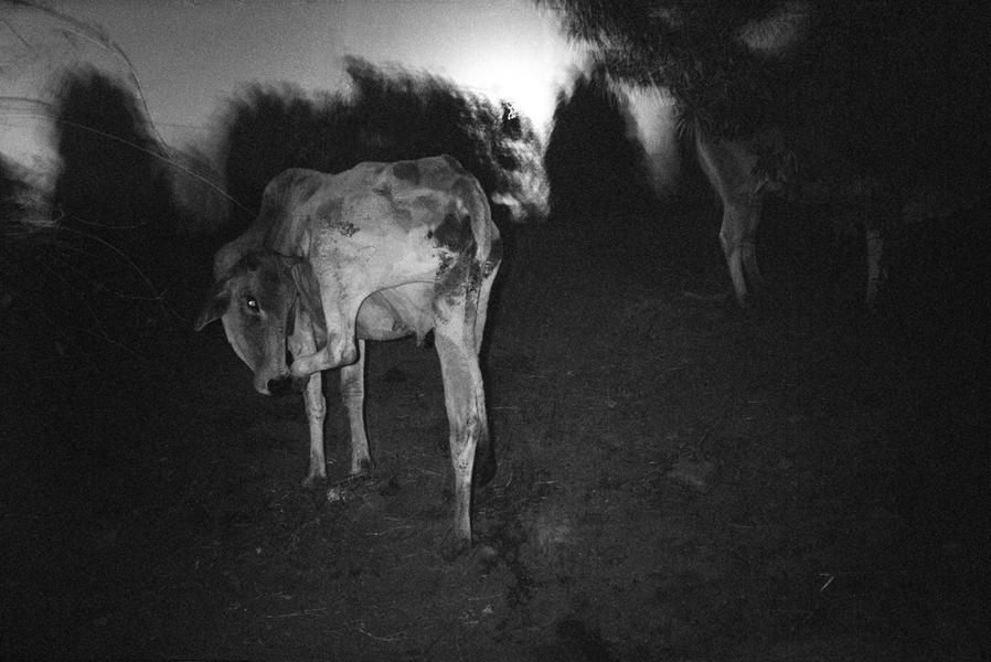 Contorted Cow, Delhi