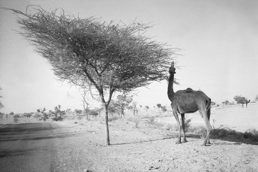 Camel, Tree and Road, on the way to Jaisalmer