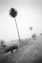 Palm Tree and Water Buffalo, Khajaraho