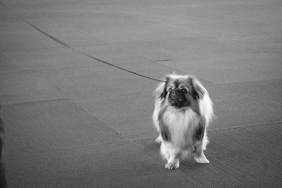 Tibetan Spaniel at the End of Its Leash, New York,