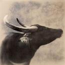 Water Buffalo #2, 30x30