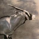 Oryx #4,  30x30