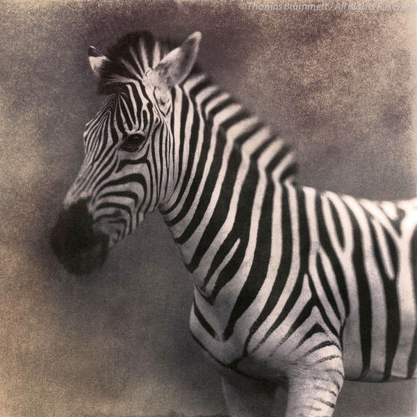 Zebra, 30x30', Edition of 8