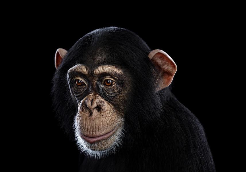 Chimpanzee #12, Los Angeles, CA, 2010