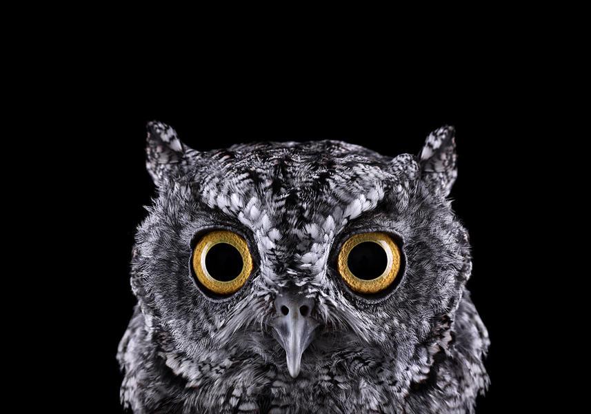 Western Screech Owl #1, Espanola, NM, 2012