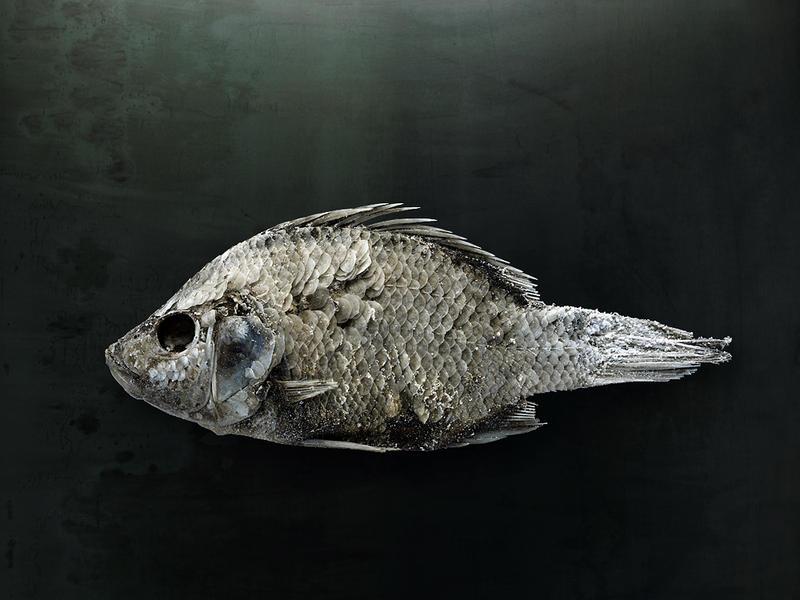 Salton Sea Fish Study #1, Santa Fe, NM, 2010