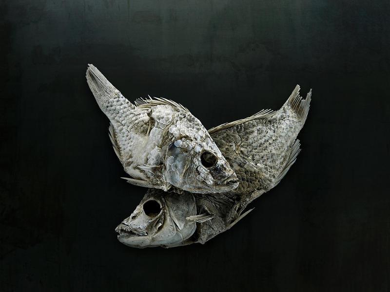 Salton Sea Fish Study #3, Santa Fe, NM, 2010